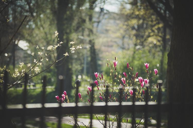 Magnolia w zamkniętym dla ludzi parku - teren zamknięty